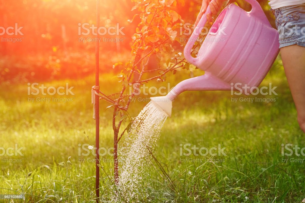 The Girl Is Watering A Violet Apple Tree In A Green Garden