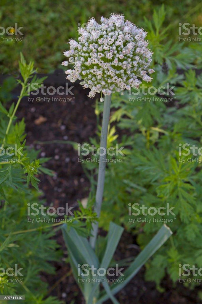 The globular flower of a leek stock photo