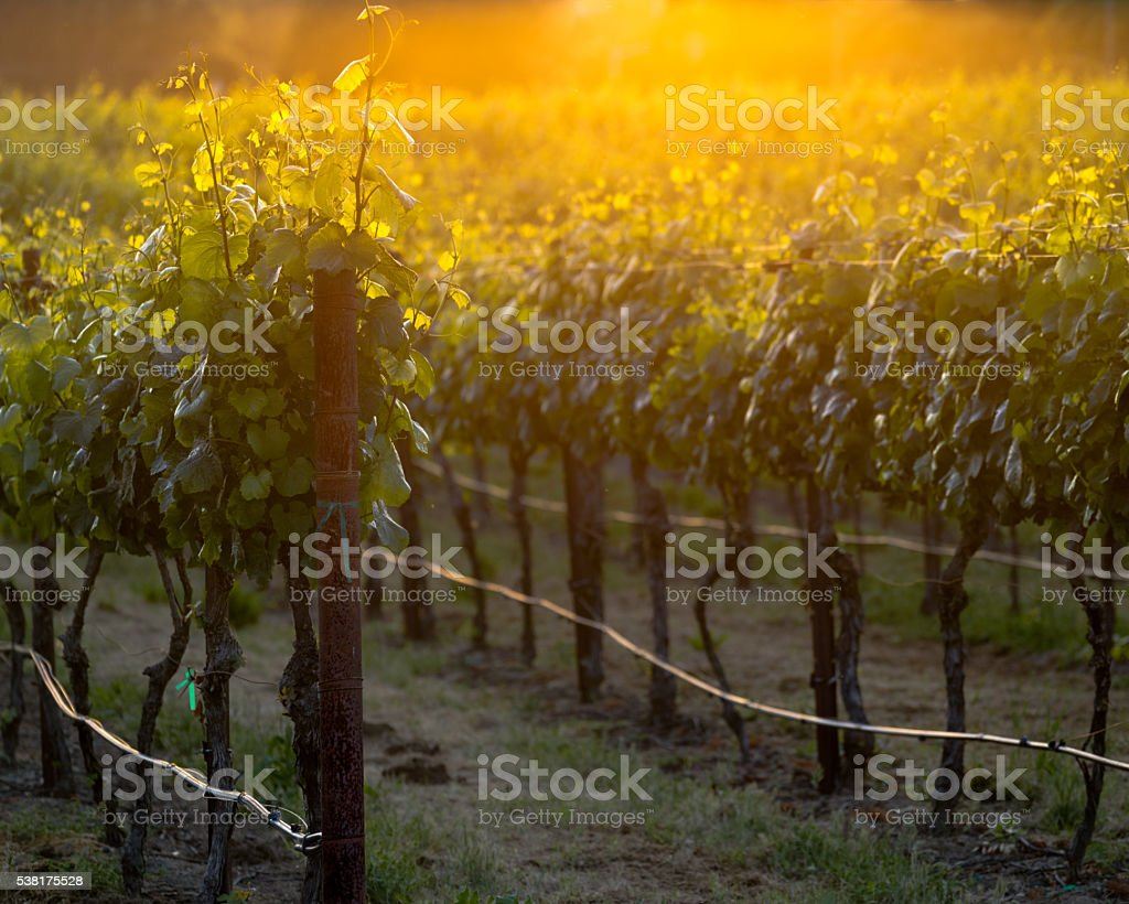 The glowing vines of a Napa vineyard at sunset stock photo