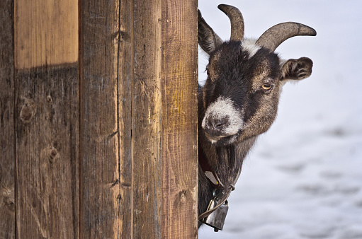 the goat hidden behind the wall of a wooden hut curiously observes passers-by
