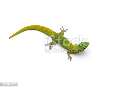 istock The gold dust day gecko isolated on white background 854524572