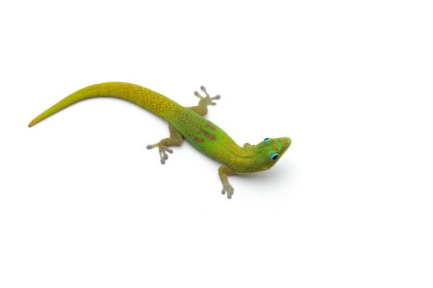 le gecko diurne de poussière d'or isolé sur fond blanc - animaux familiers exotiques photos et images de collection