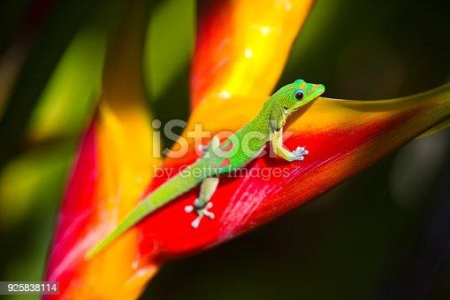 Phelsuma laticauda, the gold dust day gecko feeding on a tropical flower, the lobster claw. Photographed on the island of Kauai, Hawaii.