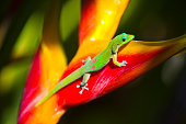 Phelsuma laticauda, the gold dust day gecko feeding on a tropical flower, the lobster claw. Photographed on the island of Kauai, Hawaii.