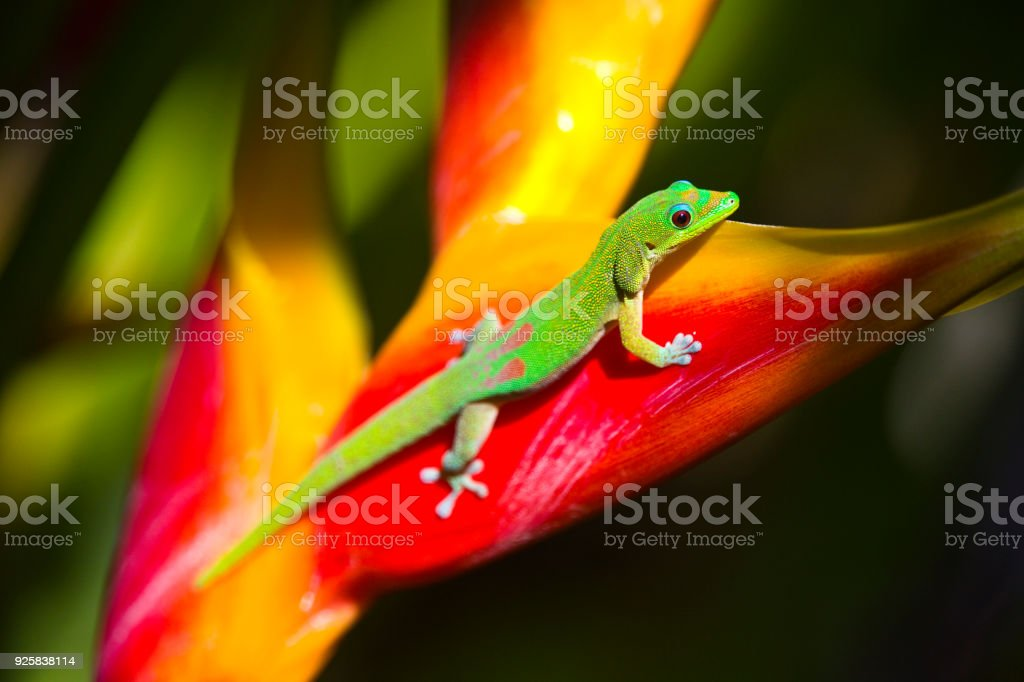 The Gold Dust Day Gecko of Hawaii stock photo
