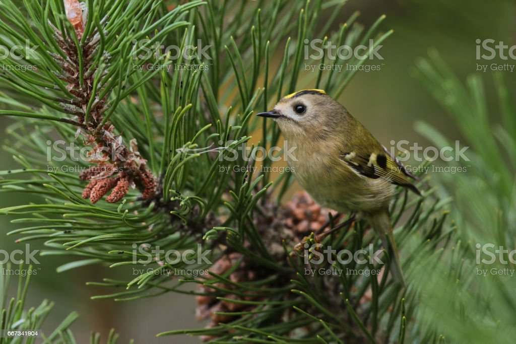 The Goldcrest on the pinetree stock photo