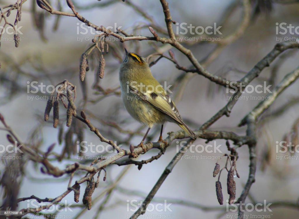 The goldcrest (Regulus regulus) stock photo