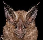 istock The golden bat 1212608663