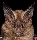 istock The golden bat 1212609374