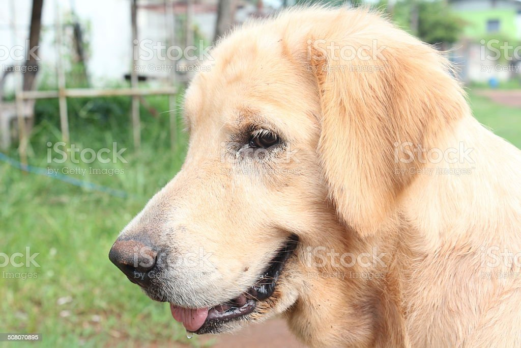 The Golden Dogs stock photo