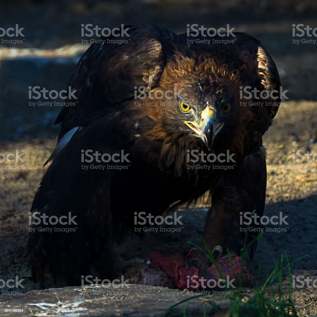 The golden eagle (Aquila chrysaetos) eating meat at sunset royalty-free stock photo