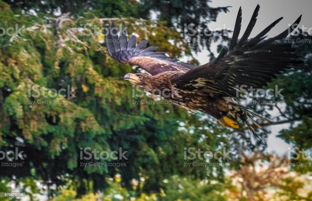 The golden eagle (Aquila chrysaetos) is one of the best-known birds of prey in the Northern Hemisphere. It is the most widely distributed species of eagle. stock photo