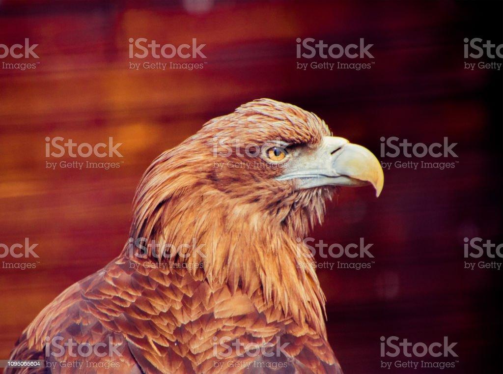 The Golden Eagle Portrait stock photo