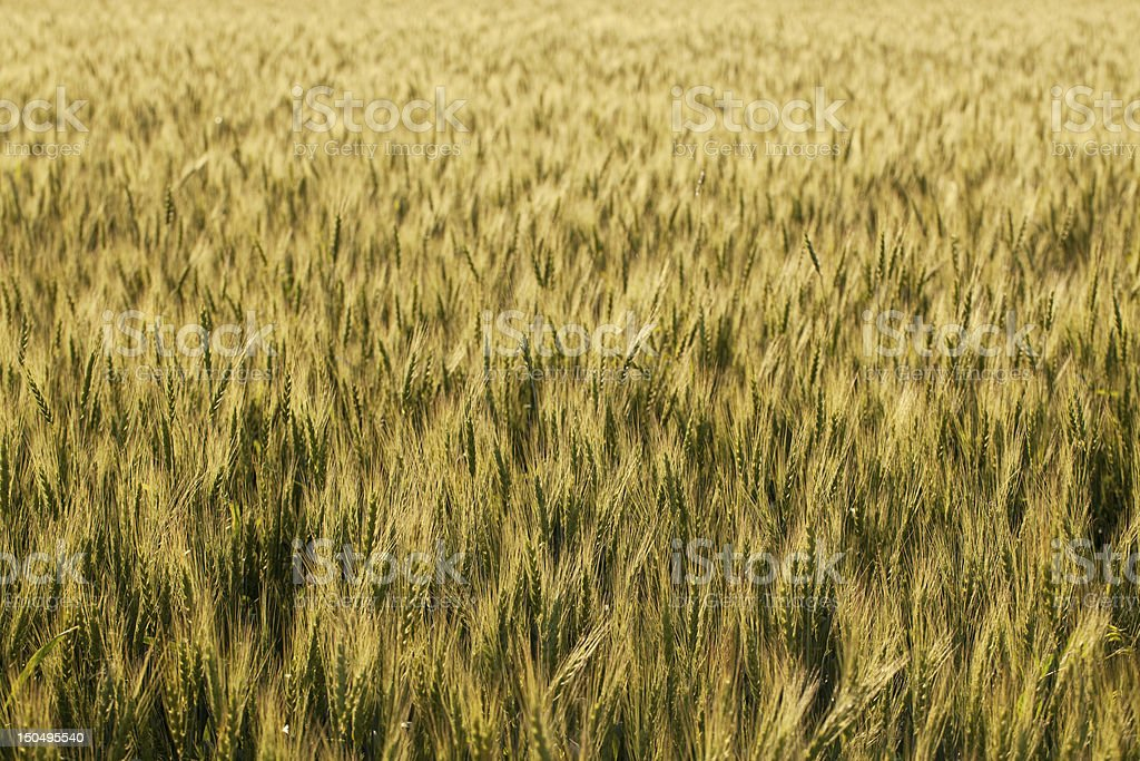 The golden ears of wheat royalty-free stock photo