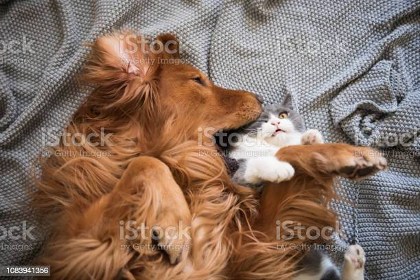 The golden hound and the kitten are playing picture id1083941356?b=1&k=6&m=1083941356&s=612x612&h=97byzvzdgj8y4fmmawody25q5urxxtpi6kf v tvwou=