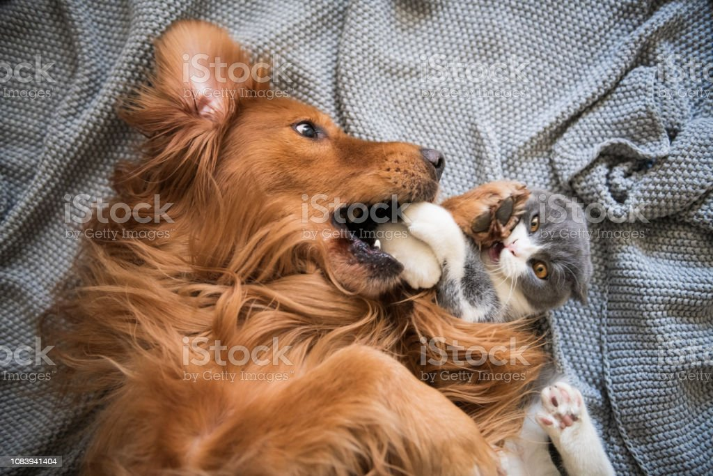 The Golden Hound and the kitten are playing. stock photo
