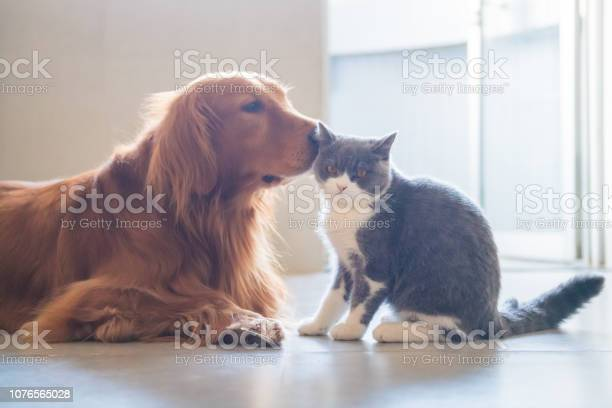The golden hound and the kitten get close picture id1076565028?b=1&k=6&m=1076565028&s=612x612&h=ynng600jydbopab5e7cels8dkyso9 l64yi4c5oquy8=