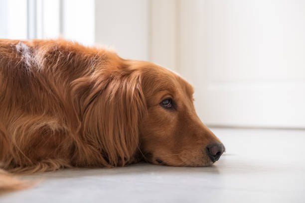 O cão de ouro encontra-se no chão. - foto de acervo