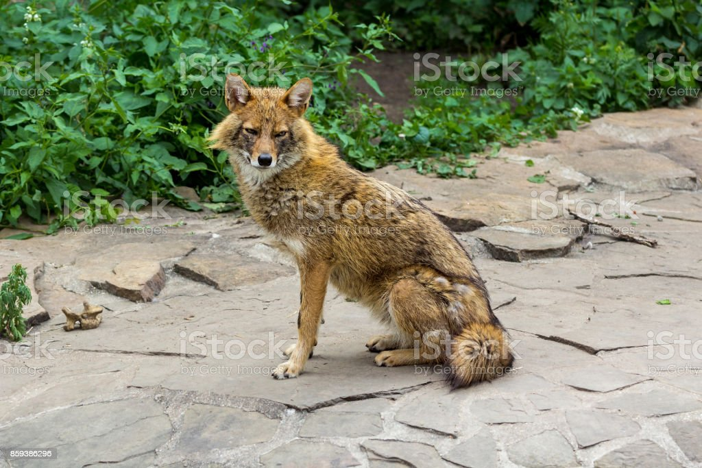 The golden jackal wandered the garden path on a hot summer day stock photo
