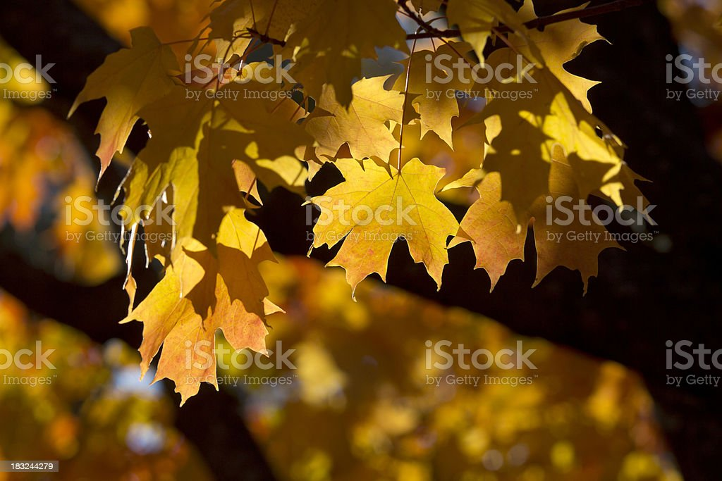 The Golden Maple Tree royalty-free stock photo
