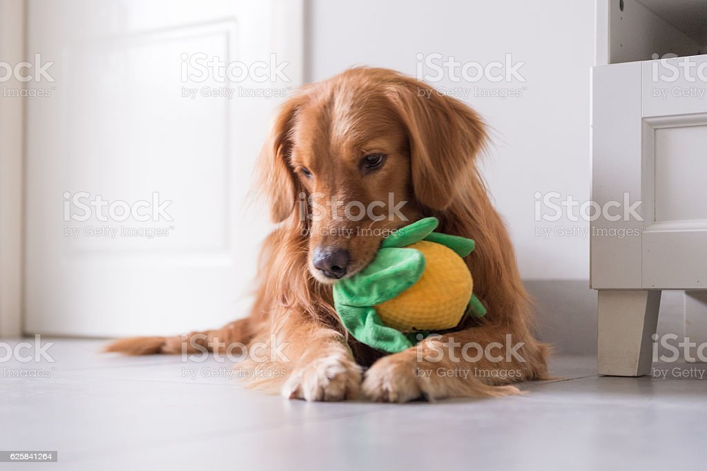 The golden retriever and its toys - foto de acervo