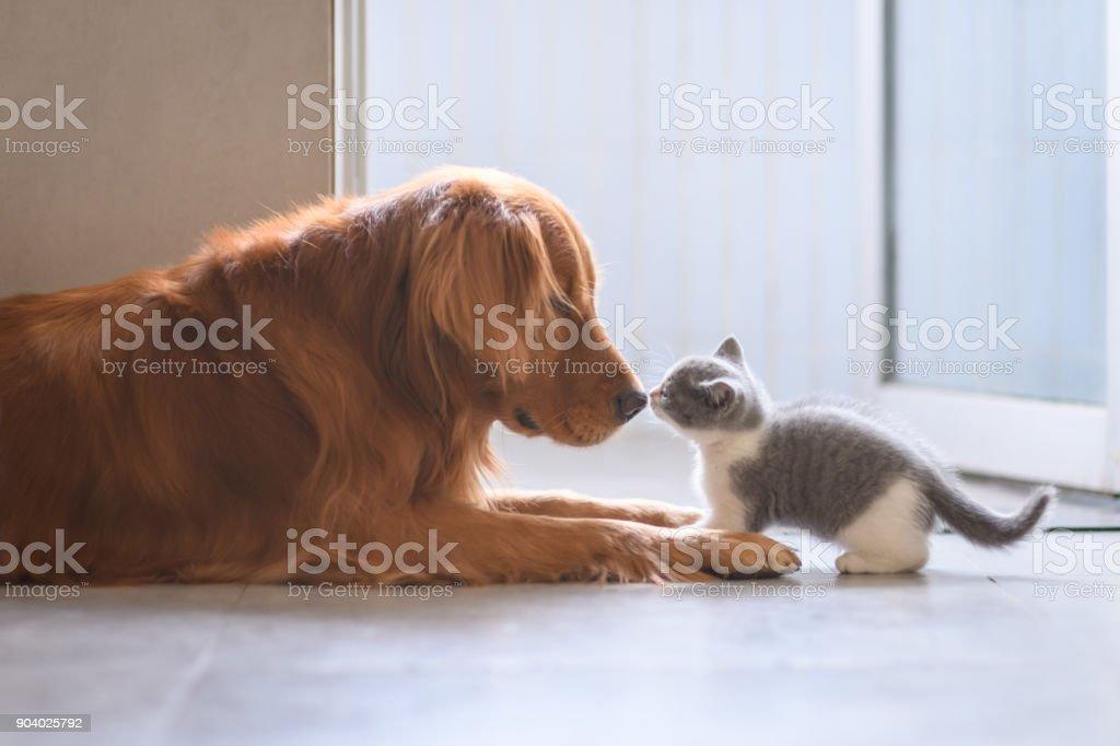 O Golden retriever e o gatinho foto royalty-free
