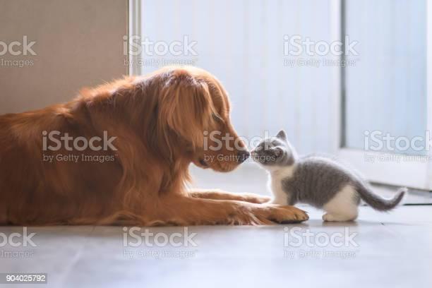 The golden retriever and the kitten picture id904025792?b=1&k=6&m=904025792&s=612x612&h=acxjeeaq33inunq6qdfqgit2y4crxh7eozpk2gwz bs=
