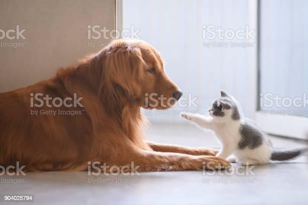 The golden retriever and the kitten picture id904025794?b=1&k=6&m=904025794&s=612x612&h=zsoswwjxtq7rmnsuwjoke328gk8p9vljm oidovokr0=