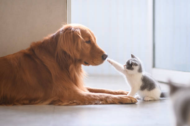 The golden retriever and the kitten picture id904025806?b=1&k=6&m=904025806&s=612x612&w=0&h=bx shczwdnvvenjr8q 5kp4tfybilfuf5ctkosvklnw=