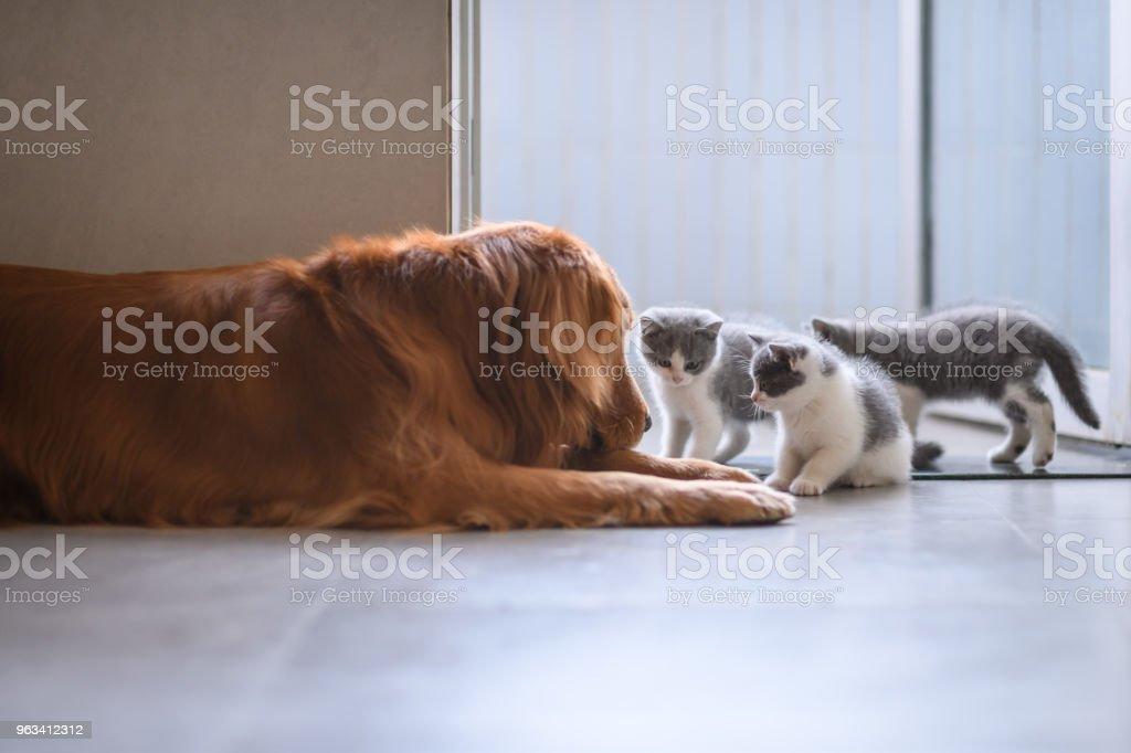 Le Golden retriever et le chaton - Photo de Animaux de compagnie libre de droits