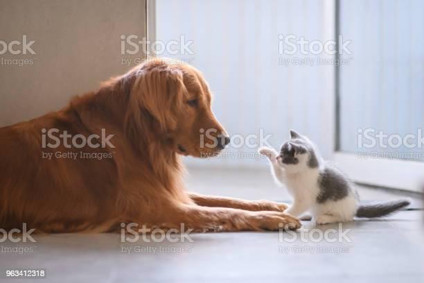 The golden retriever and the kitten picture id963412318?b=1&k=6&m=963412318&s=612x612&h=oll0idh3gwsevhdhbfhratnk9ced mxoda8pqibt38k=