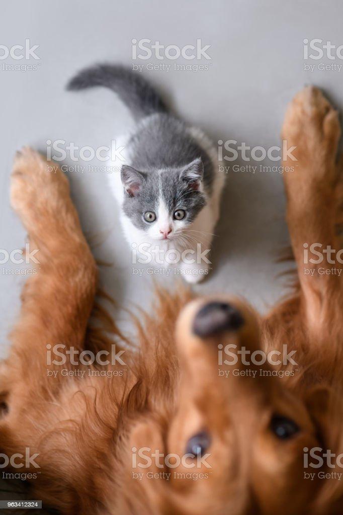 The Golden retriever and the kitten stock photo