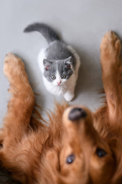 O Golden retriever e o gatinho - foto de acervo