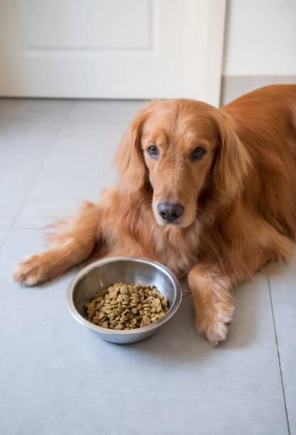 O cão do Retriever dourado está comendo o alimento de cão. - foto de acervo