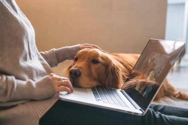 Der Golden Retriever Hund arbeitet mit dem Eigentümer. – Foto