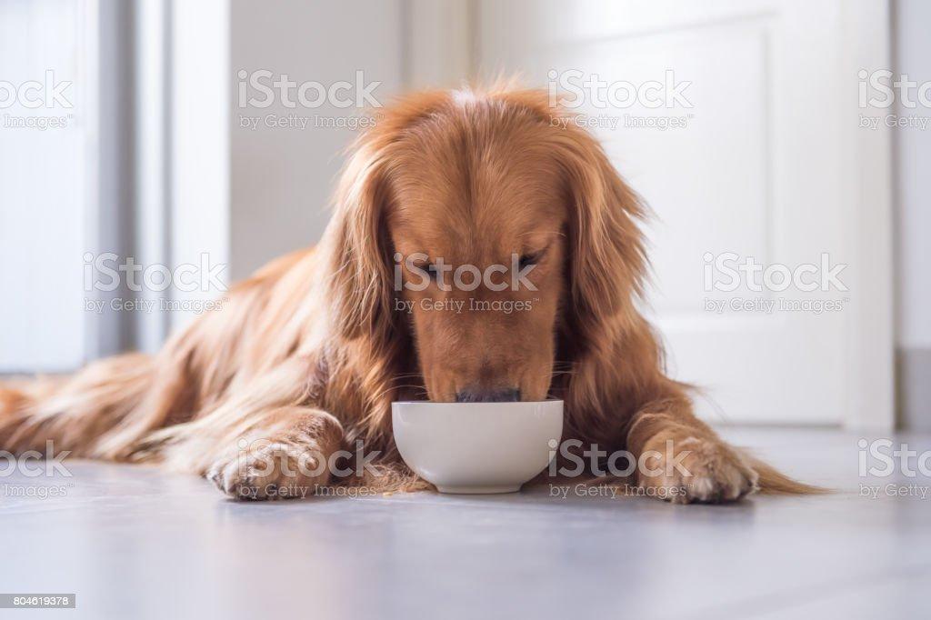 O Golden Retriever comer foto royalty-free