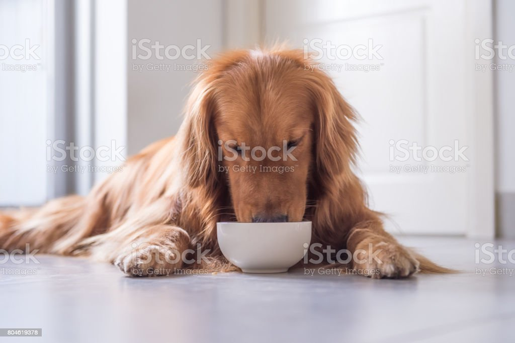 O Golden Retriever comer - foto de acervo