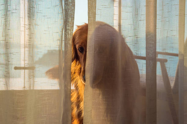 The golden retriever hides behind the curtains. – zdjęcie