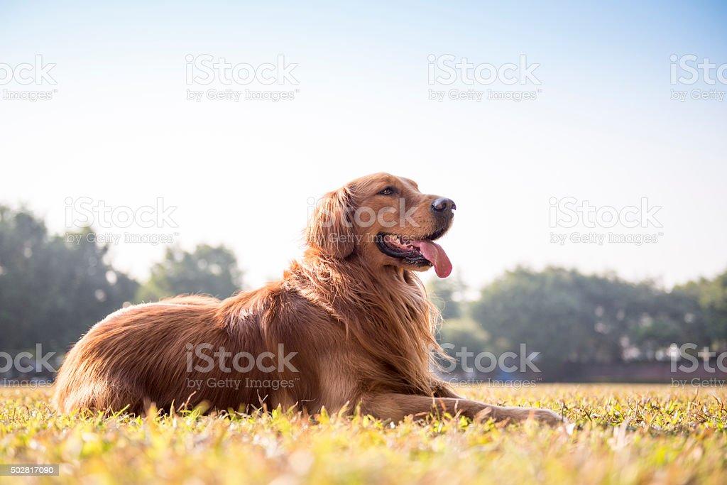 A Labrador Dourado na grama foto royalty-free