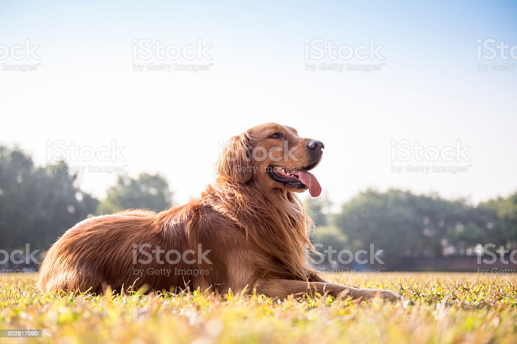 The golden retriever on the grass stock photo