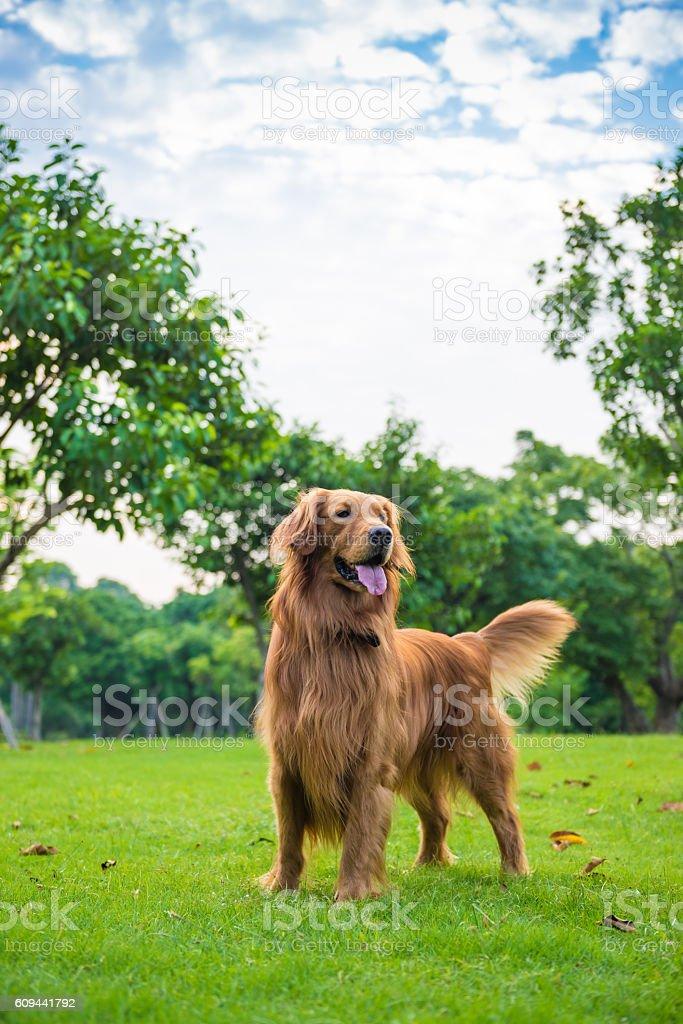 A Labrador Dourado na grama - foto de acervo