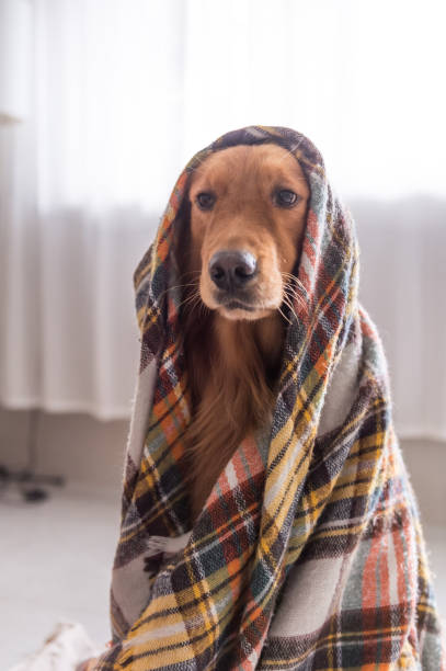 The Golden Retriever scarf The Golden Retriever scarf irish setter stock pictures, royalty-free photos & images