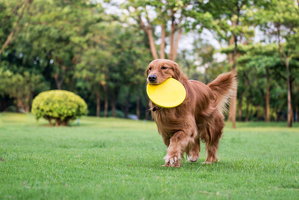 The golden retriever standing playing on the grass picture id547029964?b=1&k=6&m=547029964&s=612x612&w=0&h=oudam0c3n8dvjcg9hyknf fti1ygwozpr5lphnvbeey=