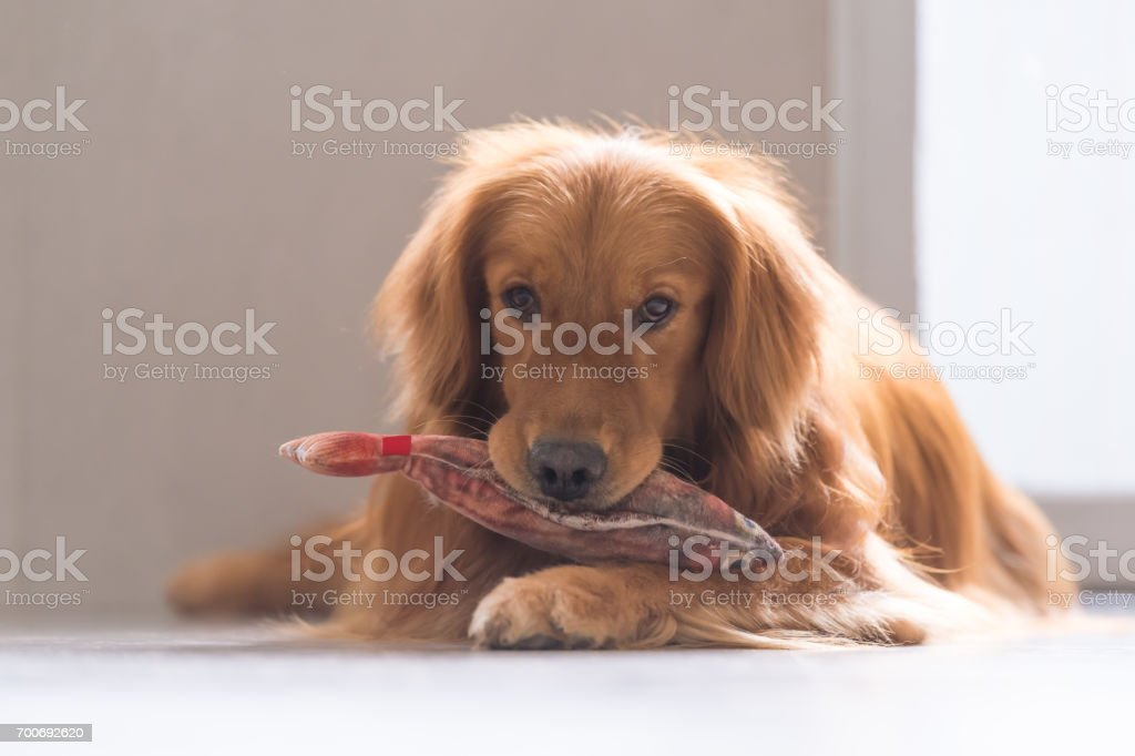 The golden retriever to lie on the ground stock photo