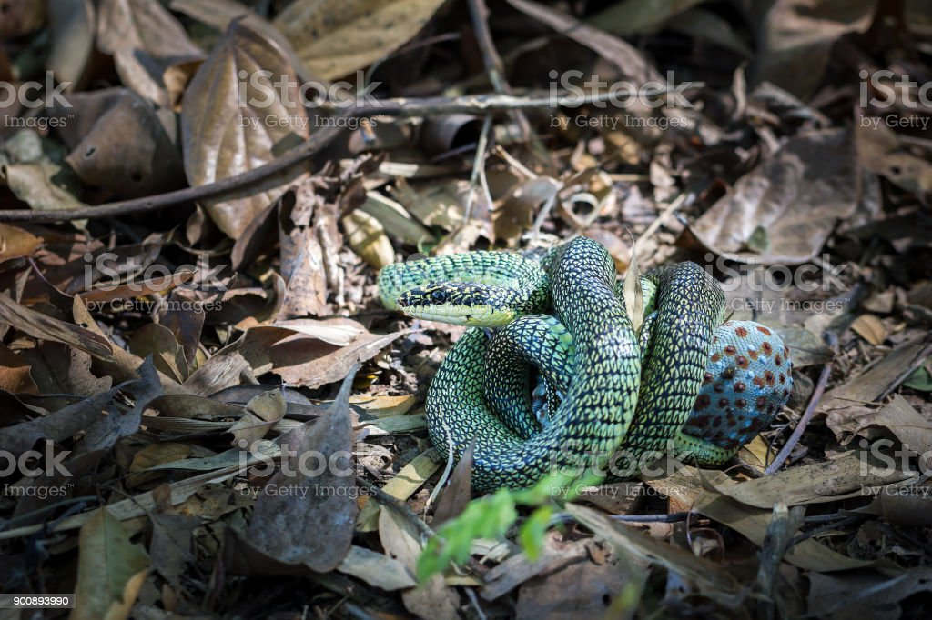 The golden tree snakes eating gecko. stock photo
