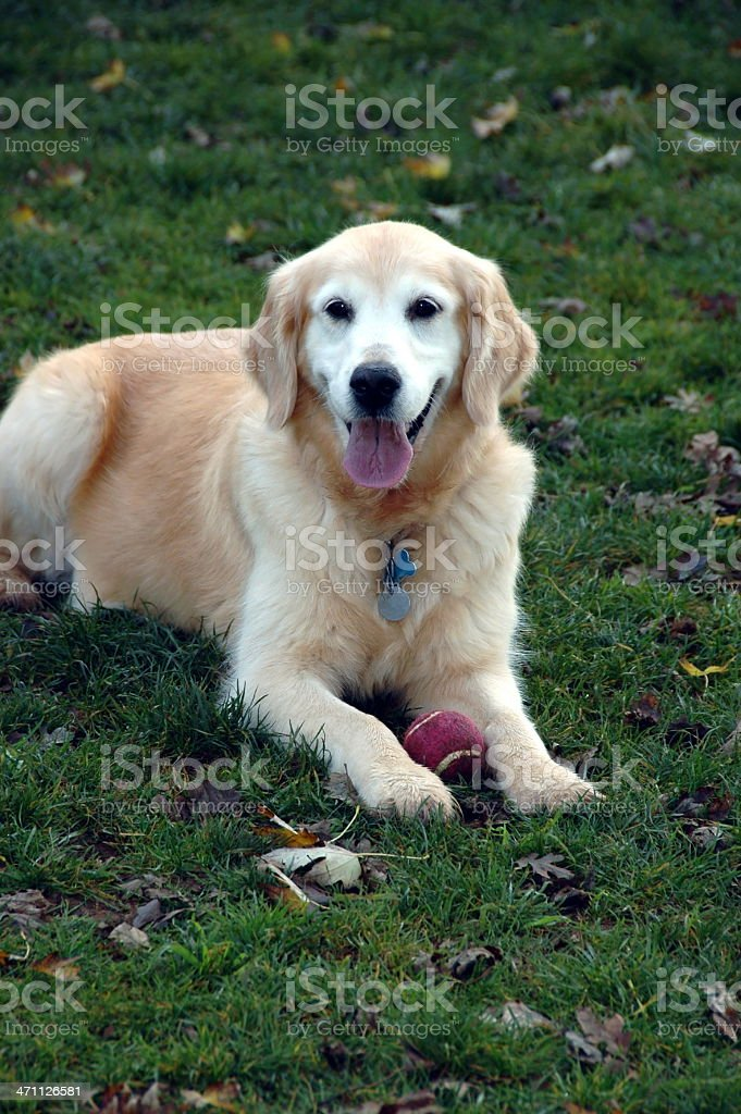 Portrait of a happy 12 year old Golden Retriever senior citizen with...
