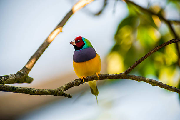 The Gouldian The Gouldian Finch is perched on a small twig showing his purple breast, yellow belly, green nape, and red face.  This is an Australian beautiful multicolored bird caught in the wild. finch stock pictures, royalty-free photos & images