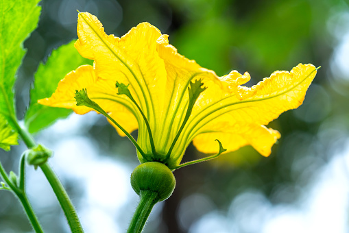 The gourd flowers that bloom in the garden after the flowers are pollinated will produce fruit. This is a good vegetarian food for human health