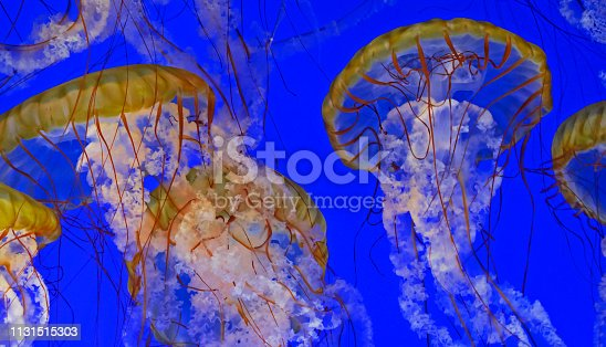 A horizontal frame with several glowing Sea Nettle Jellyfish gracefully gliding together against a rich royal blue background