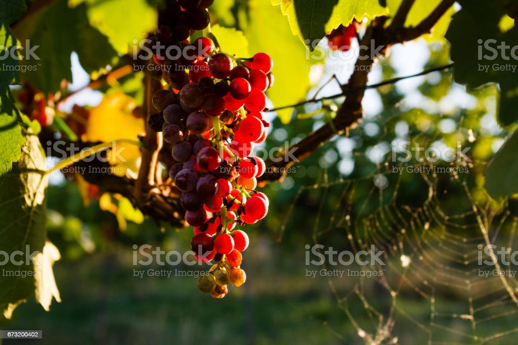 The grapes in the vineyard stock photo